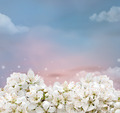 Cherry Blossom Background - PhotoDune Item for Sale