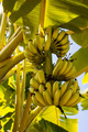 Bananas on the tree - PhotoDune Item for Sale