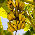 A bunch of bananas - PhotoDune Item for Sale