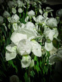 White gladioli flowers 3 - PhotoDune Item for Sale