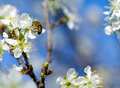 Honey bee on cherry flower - PhotoDune Item for Sale