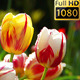 Tulips 2 - VideoHive Item for Sale
