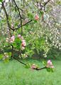 flowering of an apple tree - PhotoDune Item for Sale