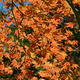 Japanese maple tree - PhotoDune Item for Sale
