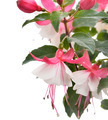 Pink And White Fuchsia - PhotoDune Item for Sale