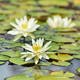 White Water Lilies - PhotoDune Item for Sale