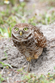 Burrowing Owl - PhotoDune Item for Sale