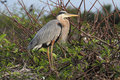 Great Blue Heron - PhotoDune Item for Sale