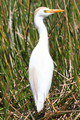Cattle Egret - PhotoDune Item for Sale