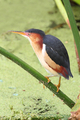 Least Bittern - PhotoDune Item for Sale