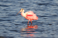 Roseate Spoonbill - PhotoDune Item for Sale