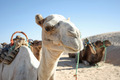 Camel portrait - PhotoDune Item for Sale