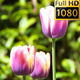 Flowers (Tulips) 1 - VideoHive Item for Sale