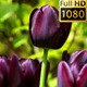 Flowers (Tulips) 2 - VideoHive Item for Sale
