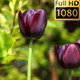Flowers (Tulips) 4 - VideoHive Item for Sale