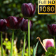Flowers (Tulips) 5 - VideoHive Item for Sale