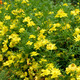 Yellow Cosmos flower - PhotoDune Item for Sale