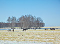 Horses on snow field - PhotoDune Item for Sale