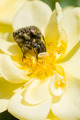 Insects and Ornamental rose - PhotoDune Item for Sale