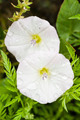 Morning glory flowers - PhotoDune Item for Sale