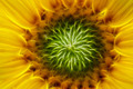 bloom of the sunflower - PhotoDune Item for Sale