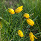Wild Yellow Tulip - PhotoDune Item for Sale