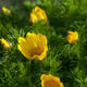Yellow Flowers Adonis - PhotoDune Item for Sale