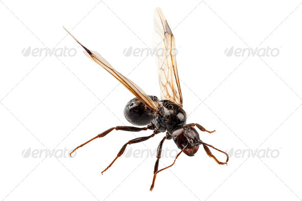 Lasius niger winged - Stock Photo - Images