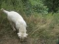 White Dog - PhotoDune Item for Sale