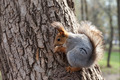 Red squirrel eating a nut on a tree - PhotoDune Item for Sale
