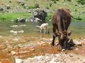 Cow - PhotoDune Item for Sale