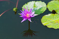 lotus on the River - PhotoDune Item for Sale