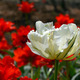 Sunny white tulip - PhotoDune Item for Sale