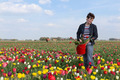 Woman  plucking flowers in Dutch tulips field - PhotoDune Item for Sale