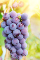 Blue grapes on vine - PhotoDune Item for Sale