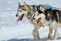 two dogs husky - PhotoDune Item for Sale