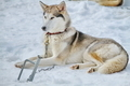 dog husky - PhotoDune Item for Sale