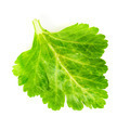 green celery leaf - PhotoDune Item for Sale