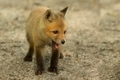 Red Fox Kit (Vulpes) - PhotoDune Item for Sale