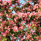 branch of a blossoming tree - PhotoDune Item for Sale