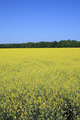 Yellow rapeseed field - PhotoDune Item for Sale
