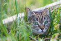 Cat in grass - PhotoDune Item for Sale