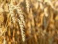 detail of wheat field - PhotoDune Item for Sale