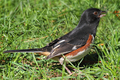 Eastern Towhee - PhotoDune Item for Sale