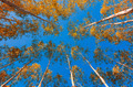 Yellow leaves of eucalyptus Blue sky - PhotoDune Item for Sale