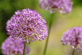 Purple flower of onion in garden - PhotoDune Item for Sale