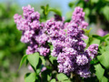 Lilac flowers in garden - PhotoDune Item for Sale
