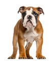 English Bulldog puppy, 3,5 months old, standing, isolated on white - PhotoDune Item for Sale