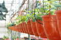 Hang-downing Srawberries in the Greenhouse - PhotoDune Item for Sale