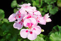 Pelargonium Flowers Closeup - PhotoDune Item for Sale